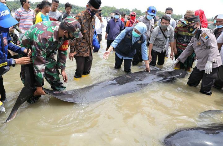 Puluhan Ekor Ikan Paus Pilot Terdampar di Pantai Modung Bangkalan
